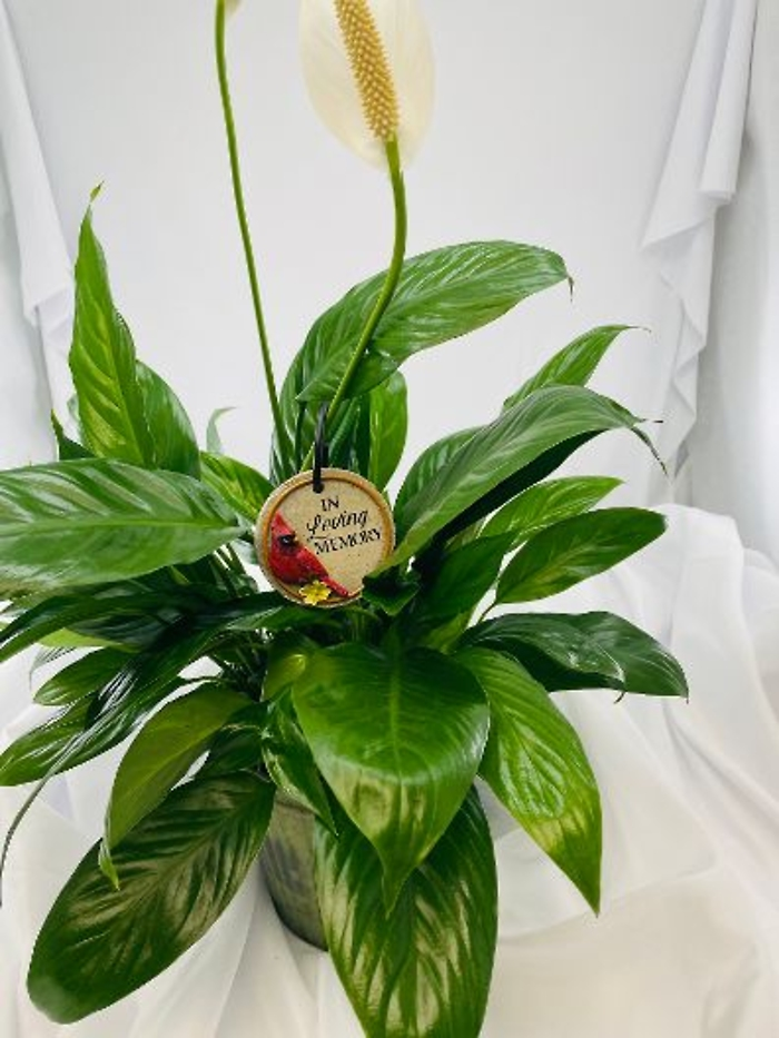 Planter: Peace Lily with Loving Memory Cardinal Plaque
