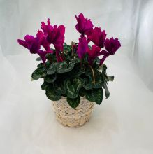 Plant: Cyclamen in Basket