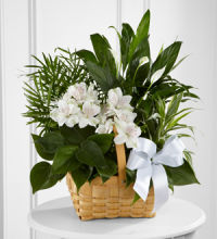 Plant: Peace & Serenity Planter Basket, white accents